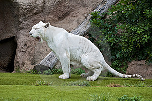 White Tiger Stock Images - Image: 23559554