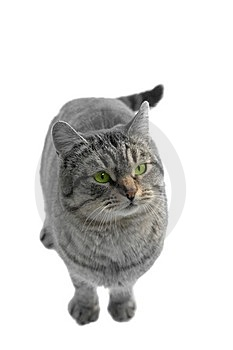 Gray Cat Royalty Free Stock Image - Image: 23568266