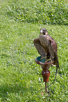 Falcon Sitting On A Perch Stock Photo - Image: 23570080