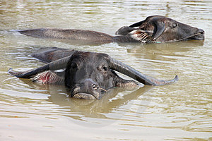 Buffalos Are Relax Playing On Pond Stock Image - Image: 23577211