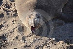 Elephant Seals Royalty Free Stock Photo - Image: 23580305