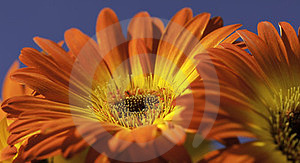 Vibrant Yellow And Orange Gerber Daisy Stock Photo - Image: 23585960