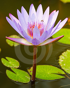 The Lotus Is Violet Royalty Free Stock Image - Image: 23586876