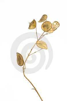 Dry Plant Stock Images - Image: 2368704