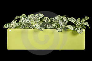 Indoor Plant Fittonia. Stock Photography - Image: 23642222