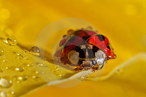 Weevil On A Petal Royalty Free Stock Photo - Image: 23659645