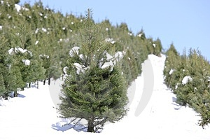 Oregon Tree Farm In The Snow Stock Image - Image: 23678331