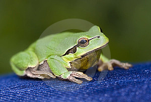 Green Frog Stock Photography - Image: 23684192
