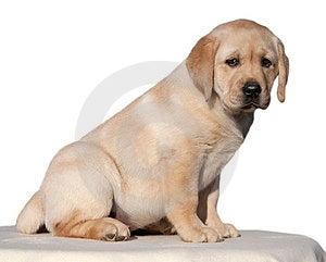 Labrador Retriever Puppy Royalty Free Stock Photos - Image: 23684278