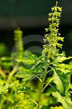 Holy Basil Flower In Nature Stock Image - Image: 23699081
