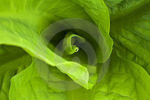 Green Leaves Close-up Royalty Free Stock Images - Image: 23722379