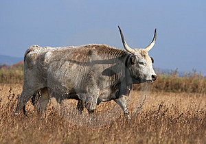 Hungarian Grey Cattle Stock Photo - Image: 23729590