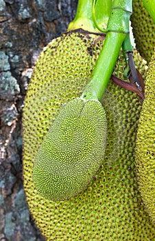 Jack Fruit Royalty Free Stock Photo - Image: 23738705