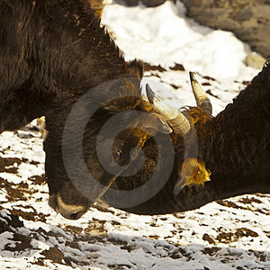 Battle Of The Bulls Stock Photography - Image: 23768882