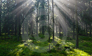 Sunbeam Entering Pruce Coniferous Stand Stock Photography - Image: 23769162