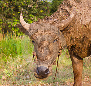 Buffalo Muddy. Stock Photography - Image: 23771312