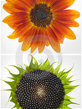 Two Sunflowers Royalty Free Stock Image - Image: 23773456