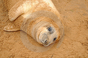 Seal Pup Stock Images - Image: 23786094