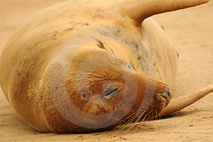 Grey Seal Stock Photos - Image: 23786173