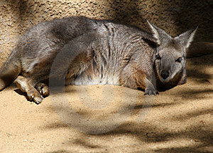 Wallaby Royalty Free Stock Image - Image: 23792336