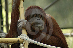 Orangutan Portrait Stock Photography - Image: 2388302