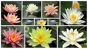 Flowers Of Water Lilie Stock Photography - Image: 23835592