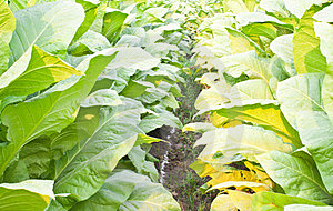 Tobacco Plants Royalty Free Stock Images - Image: 23838899