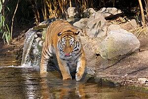 Siberian Tiger Stock Photo - Image: 23871270