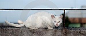Witte Kat Royalty-vrije Stock Foto - Afbeelding: 23883235