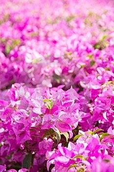 Bougainvillea Flower Royalty Free Stock Photos - Image: 23886598