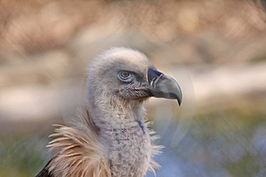 Griffon Vulture Stock Photography - Image: 23886782
