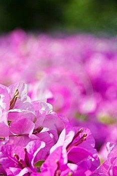 Bougainvillea Flower Stock Photography - Image: 23887462