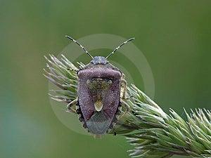 Sloe Bug Stock Photography - Image: 23888082