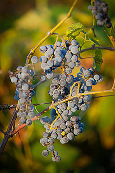 Red Bunches Of Grape (4). Stock Images - Image: 23888094