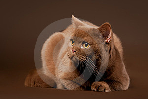 British Cat Stock Photography - Image: 23889782