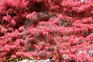 Japanese Maple Royalty Free Stock Photos - Image: 2390428