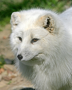 Polar Fox 5 Royalty Free Stock Photography - Image: 2391647