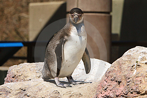 Penguin Power Stock Photography - Image: 2397942