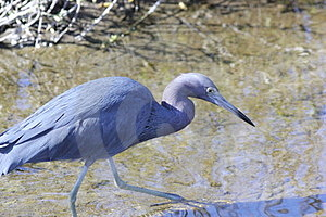 Little Blue Heron Royalty Free Stock Photos - Image: 23900648
