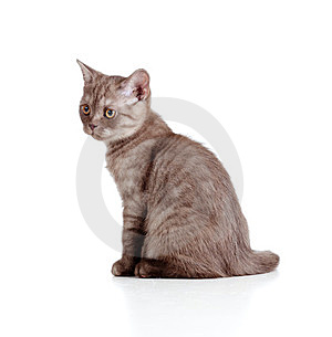 Little Kitten Pure Breed Striped British Stock Image - Image: 23901761