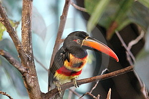 Fiery-billed Aracari Stock Images - Image: 23904704