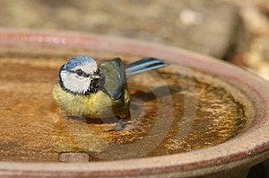 Blue Tit Stock Images - Image: 23920194