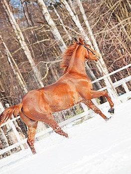 Galloping Sorrel Horse In Snow Paddock Royalty Free Stock Photo - Image: 23921105