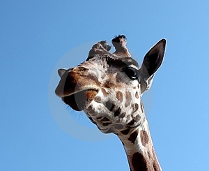 Giraffe Royalty Free Stock Photo - Image: 23931305