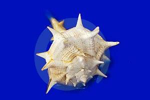 Shell Royalty Free Stock Image - Image: 23938006