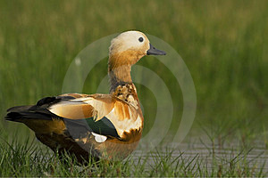 Ruddy Shelduck Male In Its Natural Habitat Stock Photography - Image: 23939292