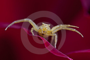 Flower Spider Royalty Free Stock Photography - Image: 23949947