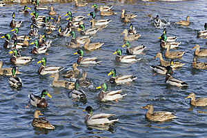 Flock Of Mallard Ducks And Drakes In The Lake Royalty Free Stock Photos - Image: 23953068