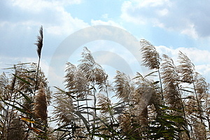 Common Reed Stock Image - Image: 23973251