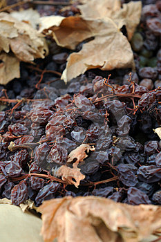 Close-up Of Raisins Drying In The Field Royalty Free Stock Image - Image: 23976896